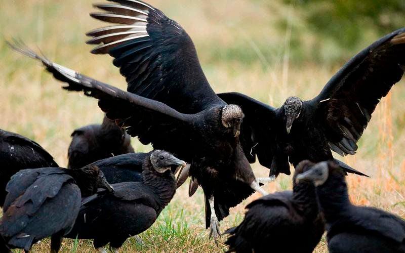 Black vultures menacing Missouri's cattle