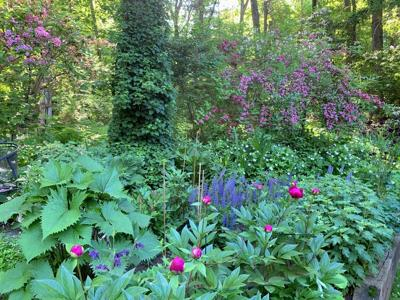 Iris McAndrew garden