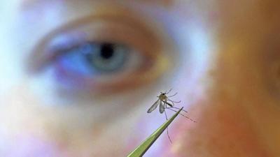 File: Mosquito