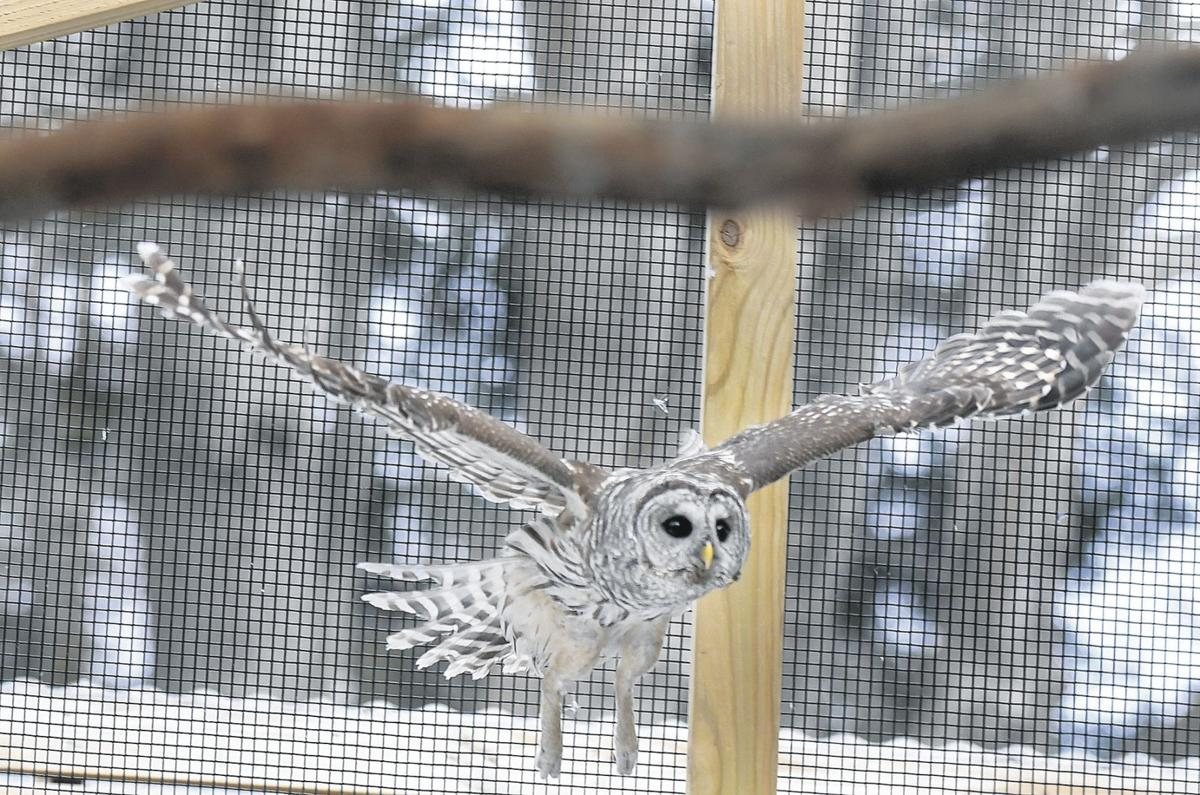 Barred owls recovering