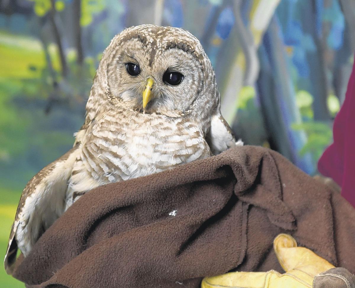 Injured barred owl