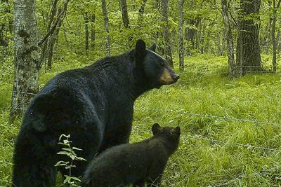 Bear sightings - CP column