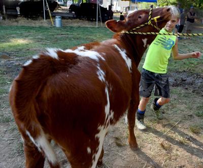 Uncooperative calf