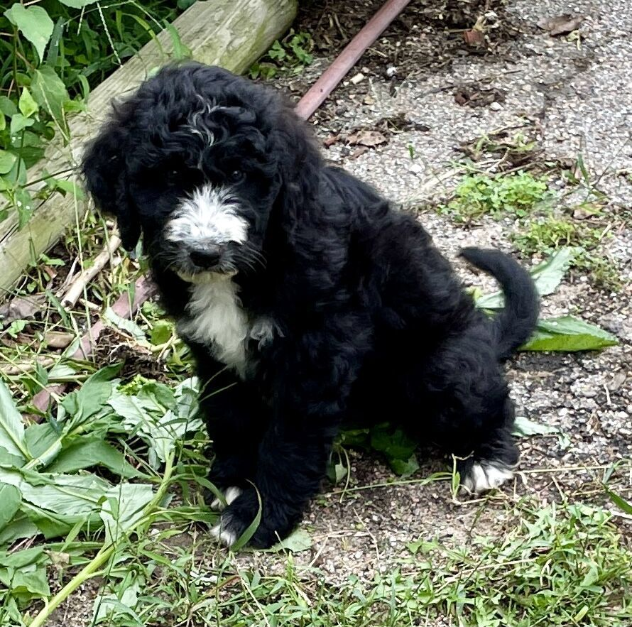 Great Pyrenees/Poodle Pups (Pyredoodles) image 2