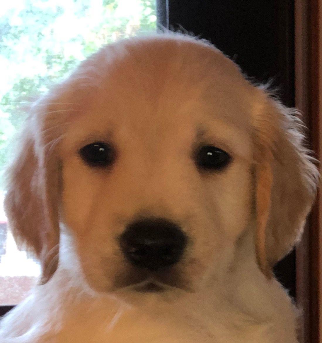 Golden Retrievers For Sale | Pets | journalstar com