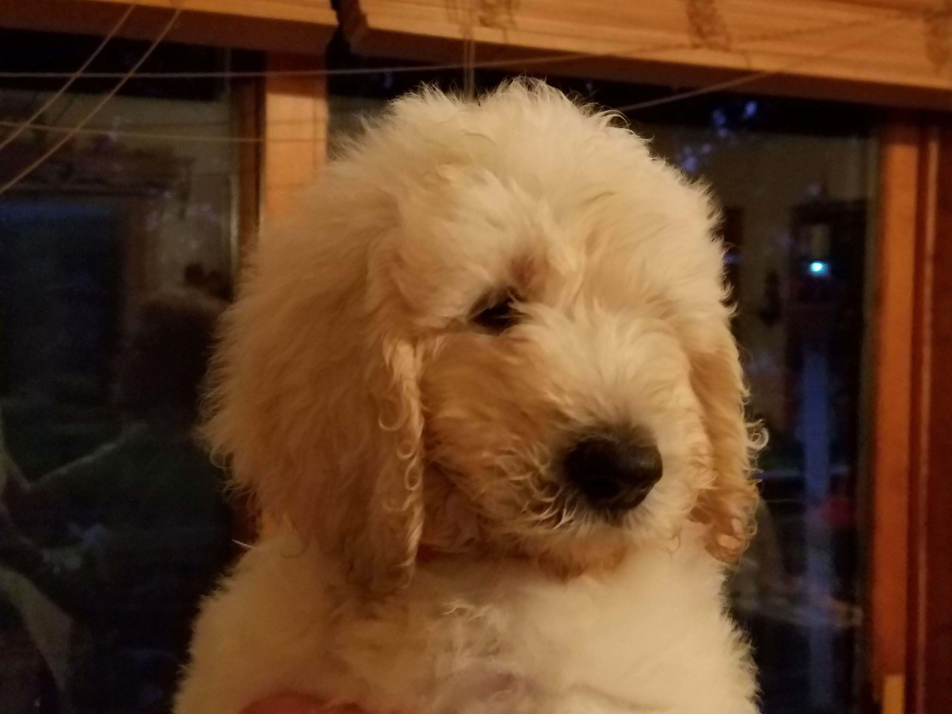 Goldendoodle puppies | Pets | journalstar com