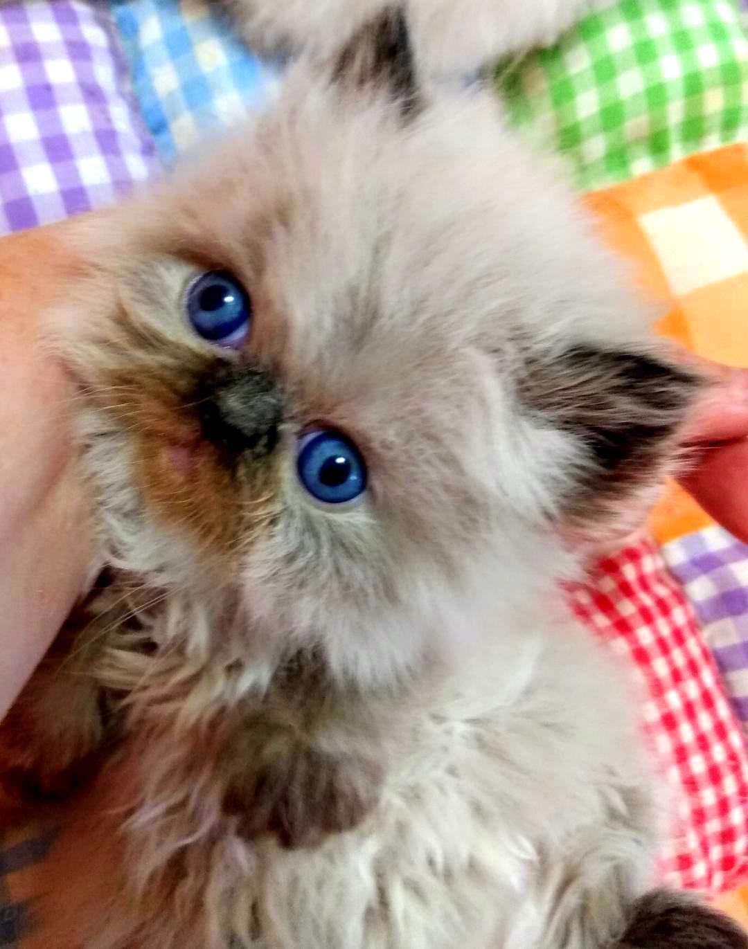 Himalayan Kittens image 1