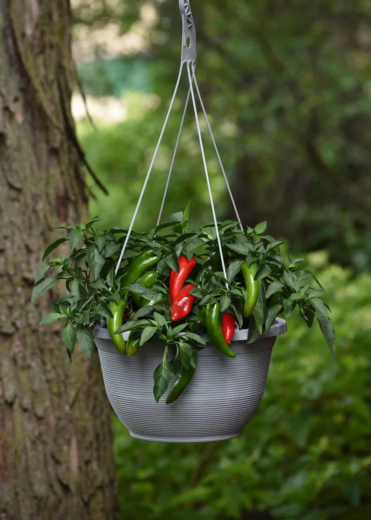 Pepper-Pot-a-peno