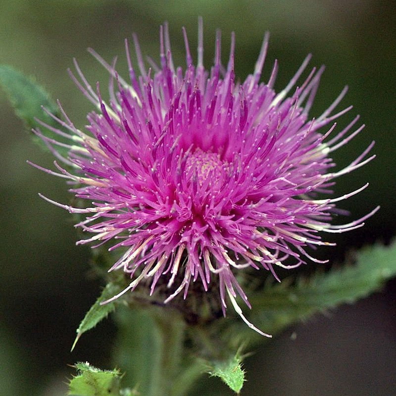 Theres a difference between a good thistle and a bad one local tall thistles with silvery leaves flower in august and september and are a good thistle mightylinksfo