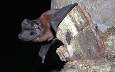 Freeman's dog-faced bat