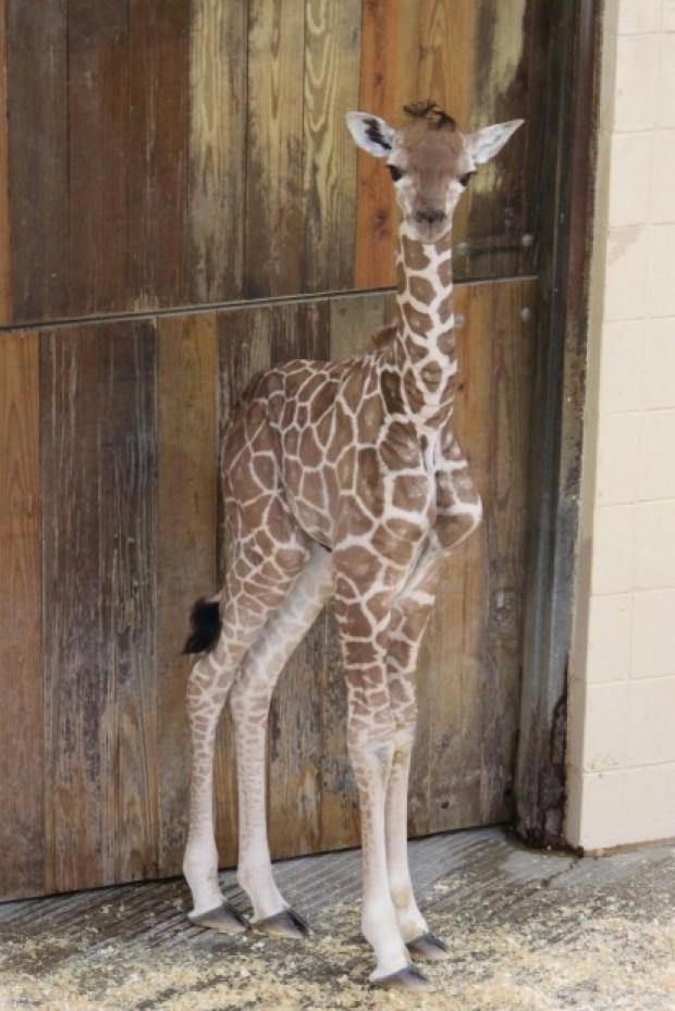 Giraffe Calf Dies At Henry Doorly Zoo Lincoln Ne