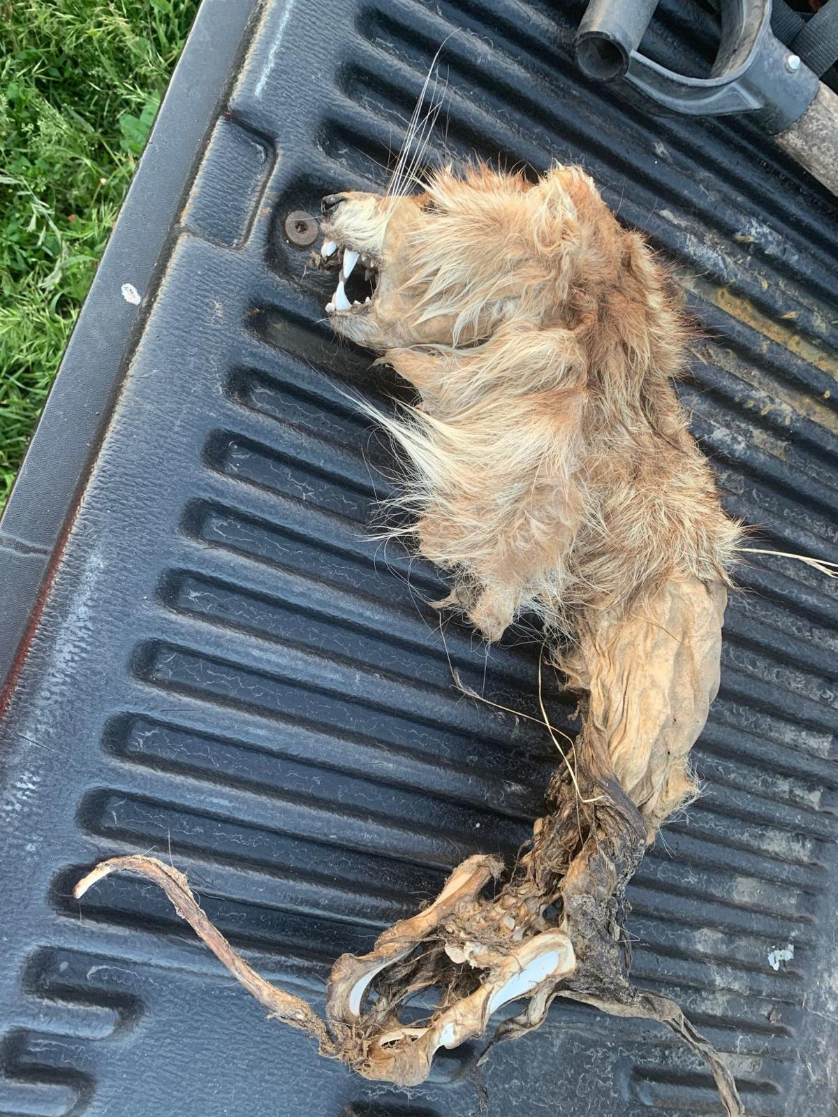 Viral photo of unidentified dead animal confirmed a raccoon