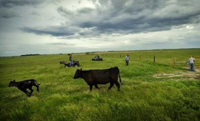 Nebraska cattle