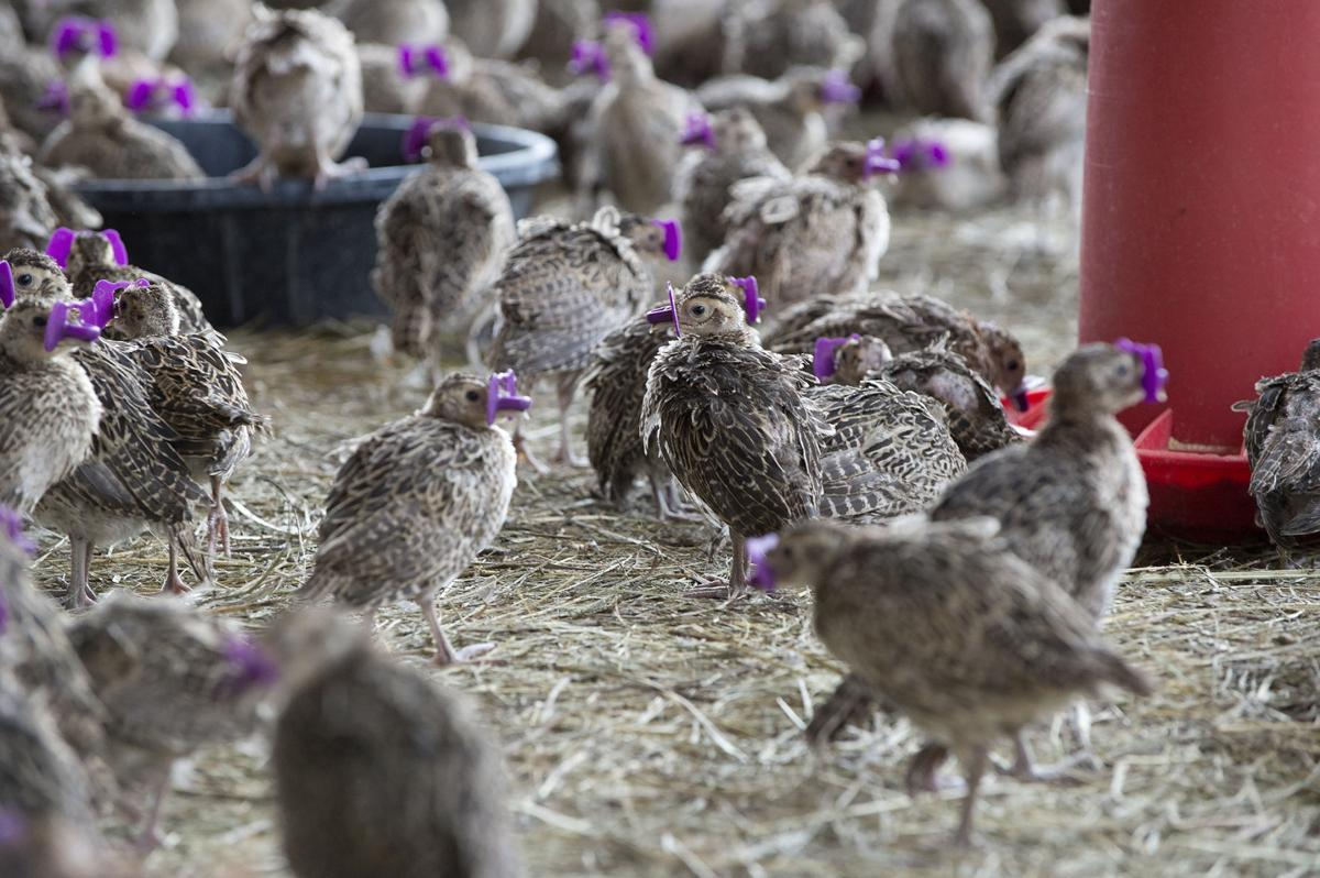 Pheasant farmer: 'I'm not one to do what everyone else is