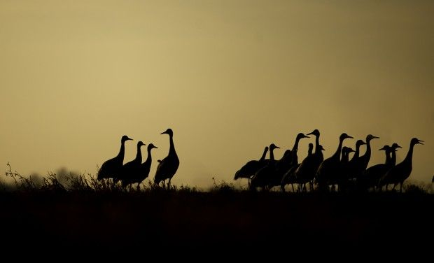 Cranes in January