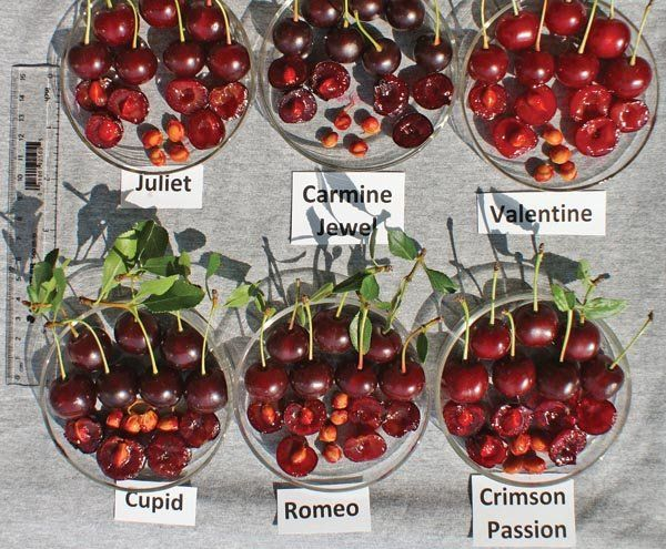 Consider Bush Cherries In Your Garden A Great Fruit And Easy