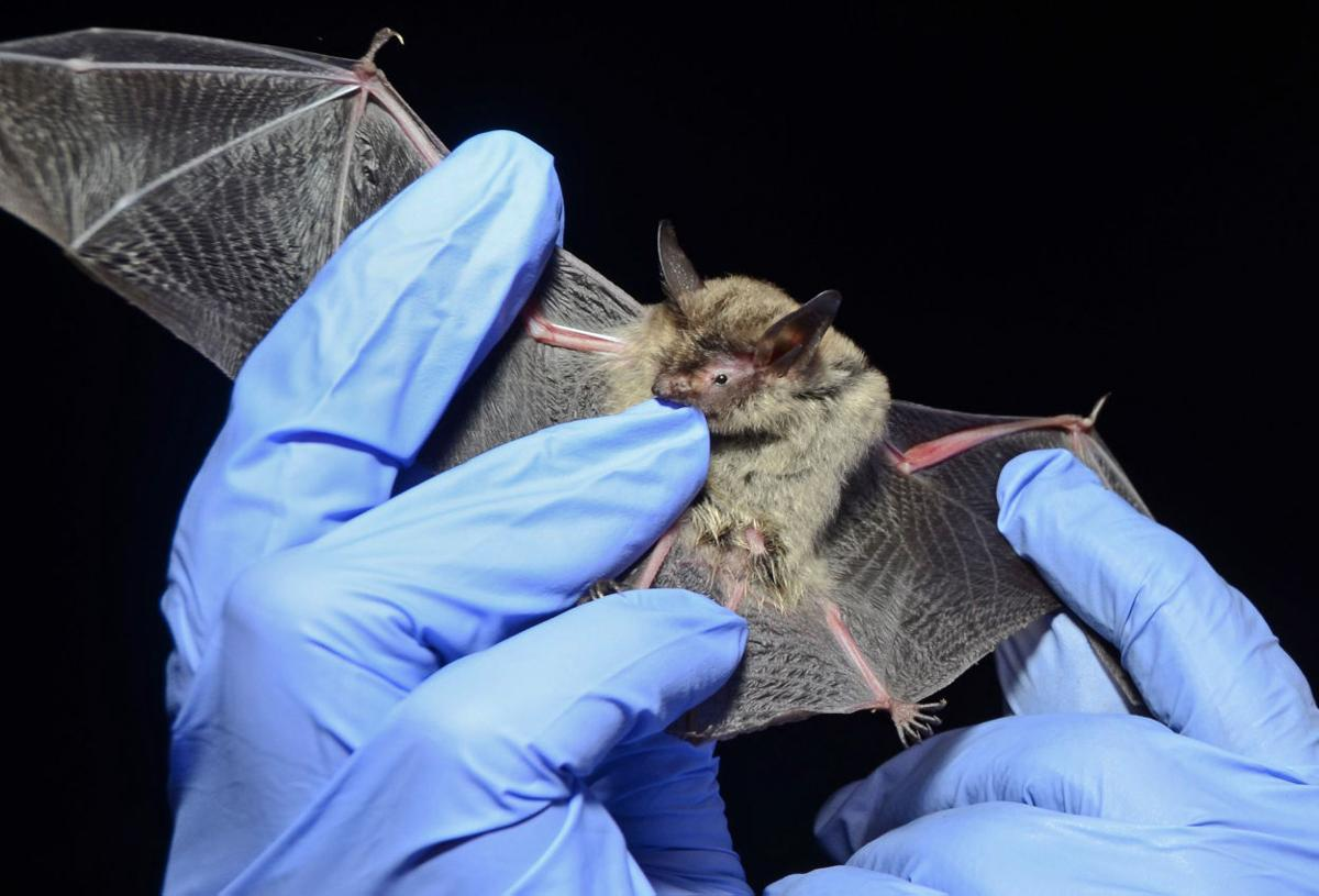 Long-eared bats