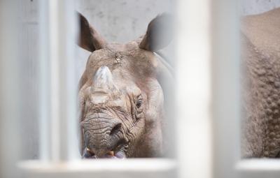 Indian rhino (copy)
