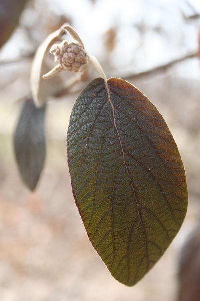 Leatherleaf viburnum
