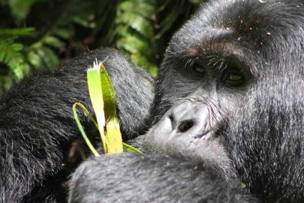Gorilla munching on leaves