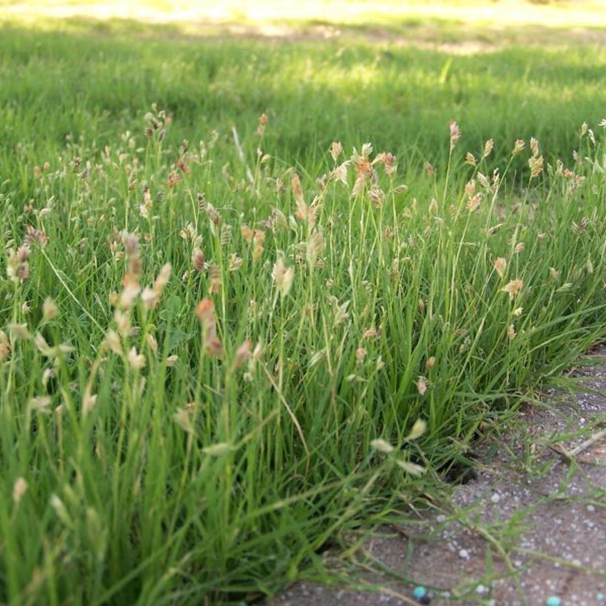 Selection And Establishment Guidelines For Buffalo Grass Success Home Garden Journalstar Com