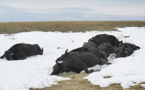 NE cattle