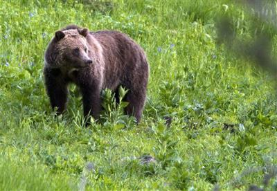 Grizzly bear deaths rise as Yellowstone population grows