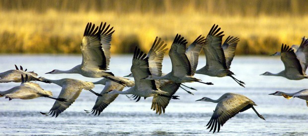 Sandhill cranes Rowe Bird Sancutary