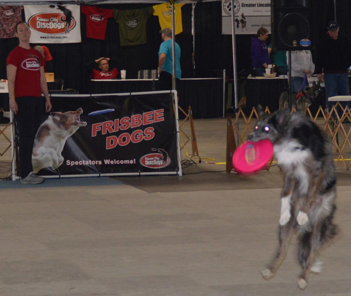 Storm catches a Frisbee at the I Love My Dog Expo