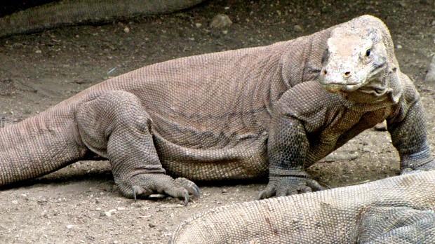Komodo dragon close-up