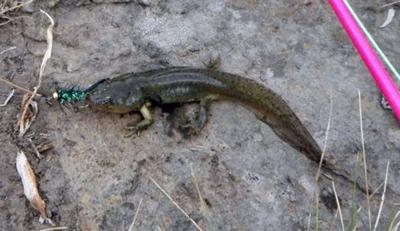 Larval salamanders make great bait for predator fish