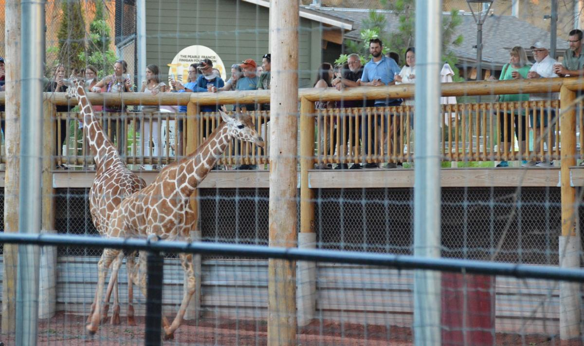 People watch and feed giraffes at Brews at the Zoo