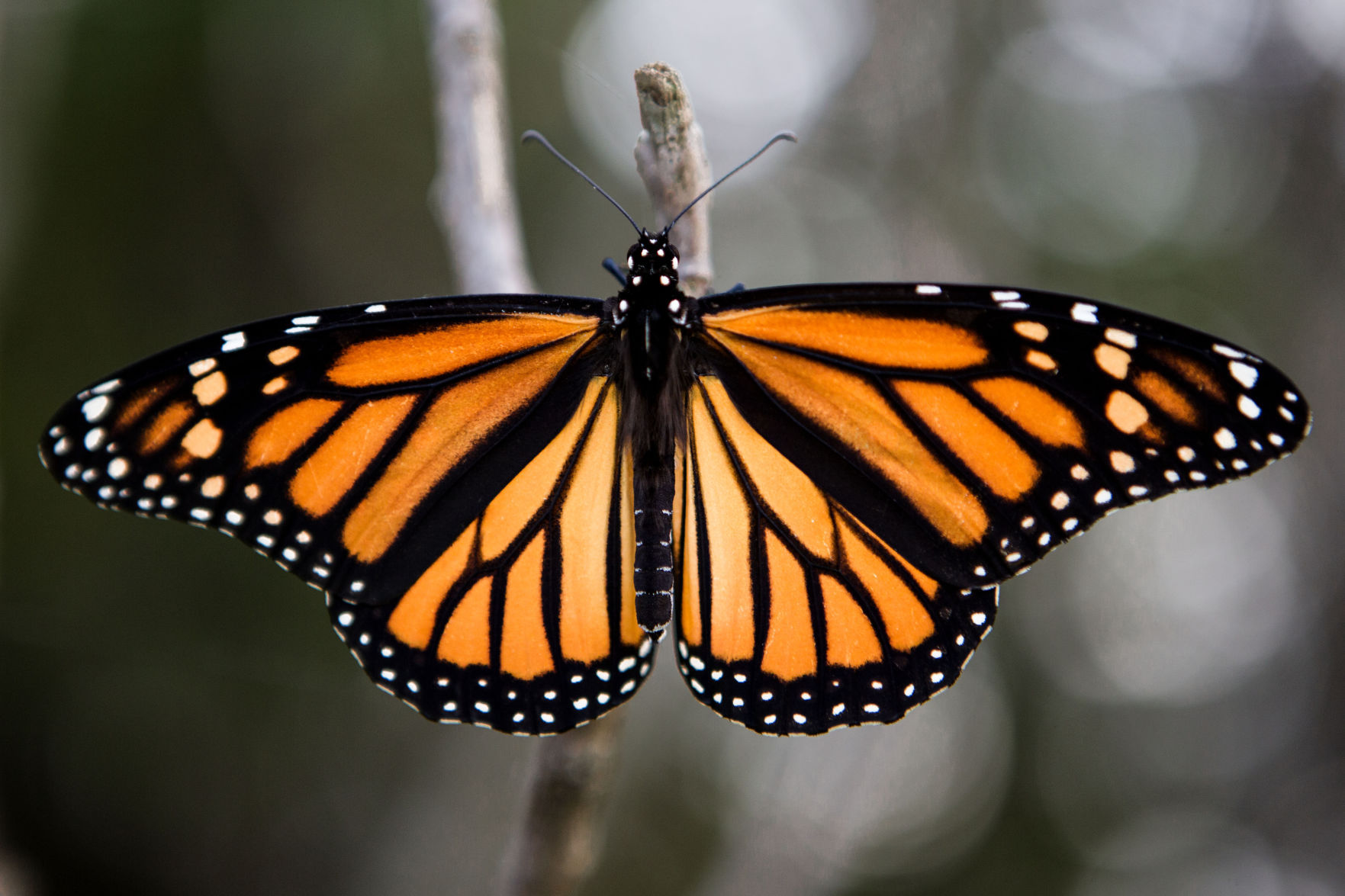 monarch butterfly boosters hope more milkweed can keep