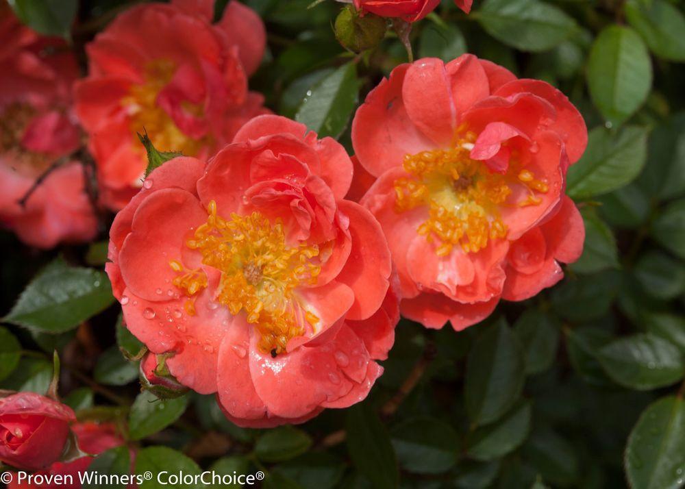 Sarah browning national garden bureau honors the rose for