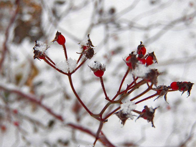 pic_012118_rosehips.jpg
