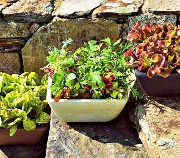 Lettuce Container Garden: No Backyard? No Problem With Container Gardening : The