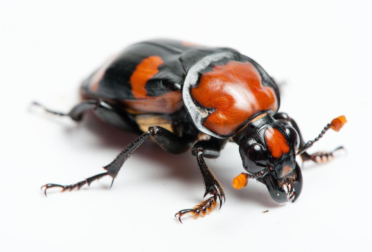 Conservation Efforts Help Burying Beetles Outdoors Journalstar Com