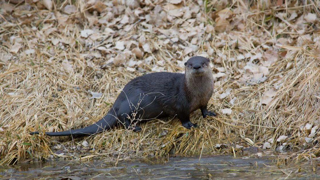 Otter trapping, mountain lion hunting seasons OK'd by Nebraska Game and Parks