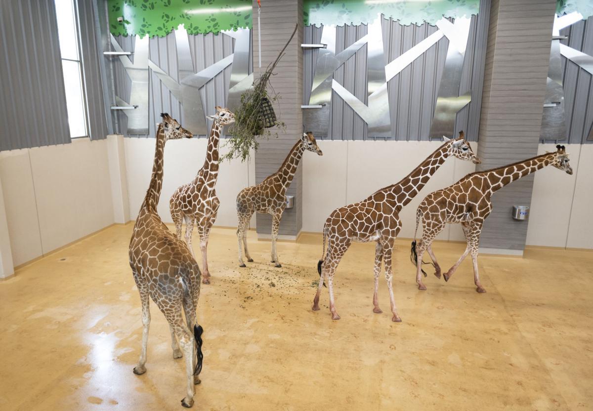 Giraffes, 05.24