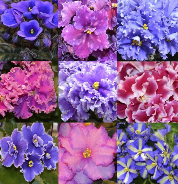 Keeping Your African Violets Beautiful Home And Garden