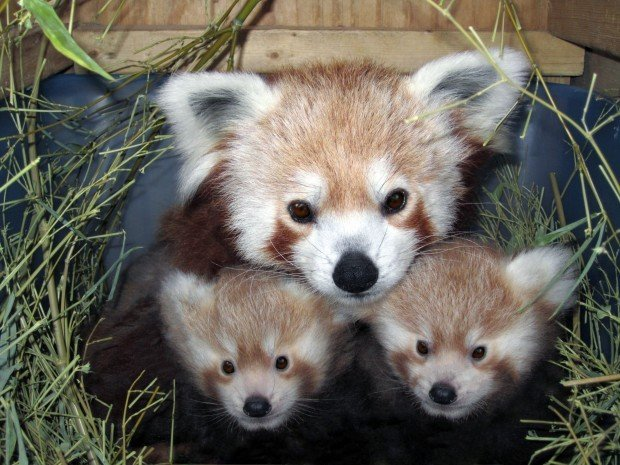 Photos Red Panda Babies Gallery