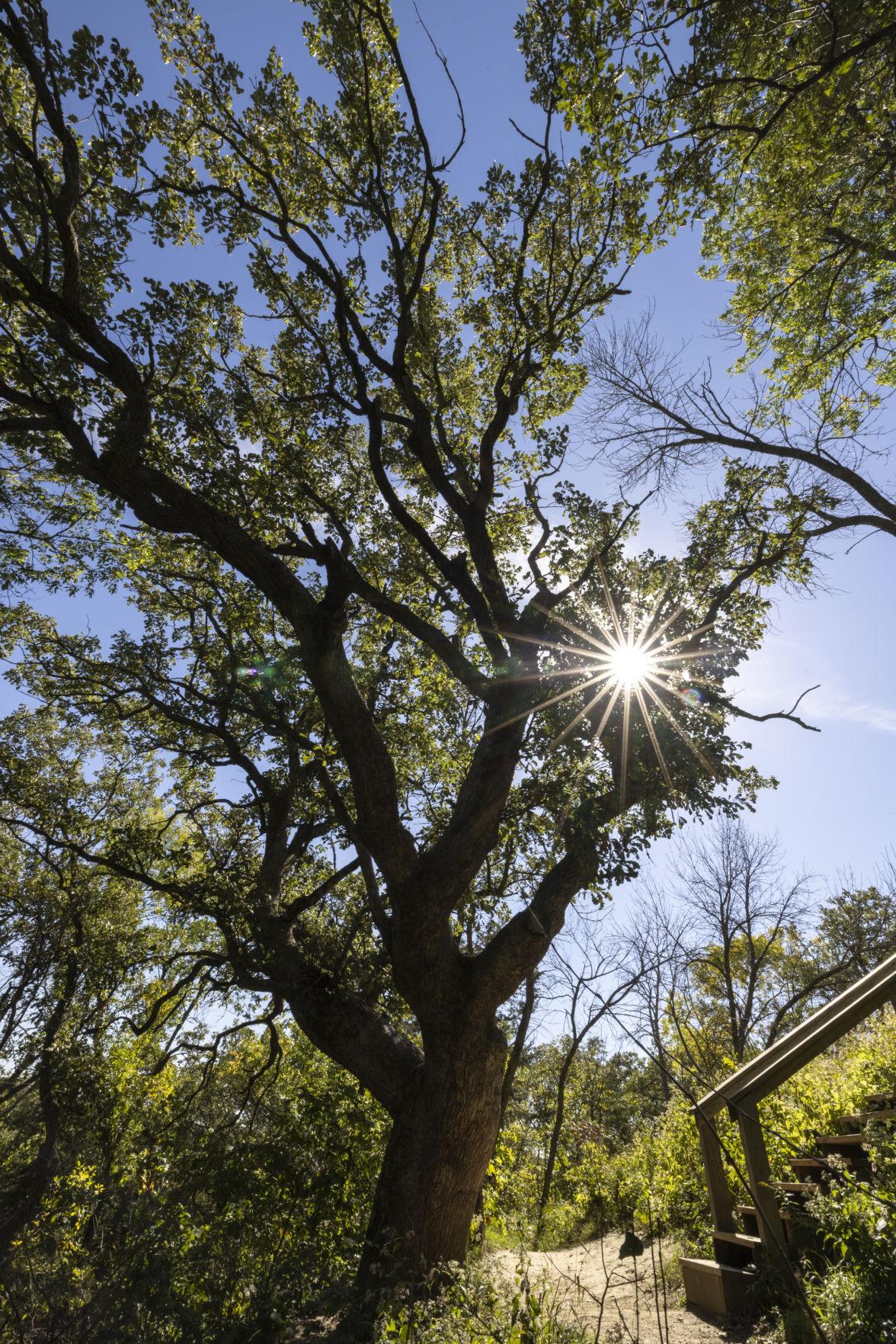 Old oak tree in Ponca State Park