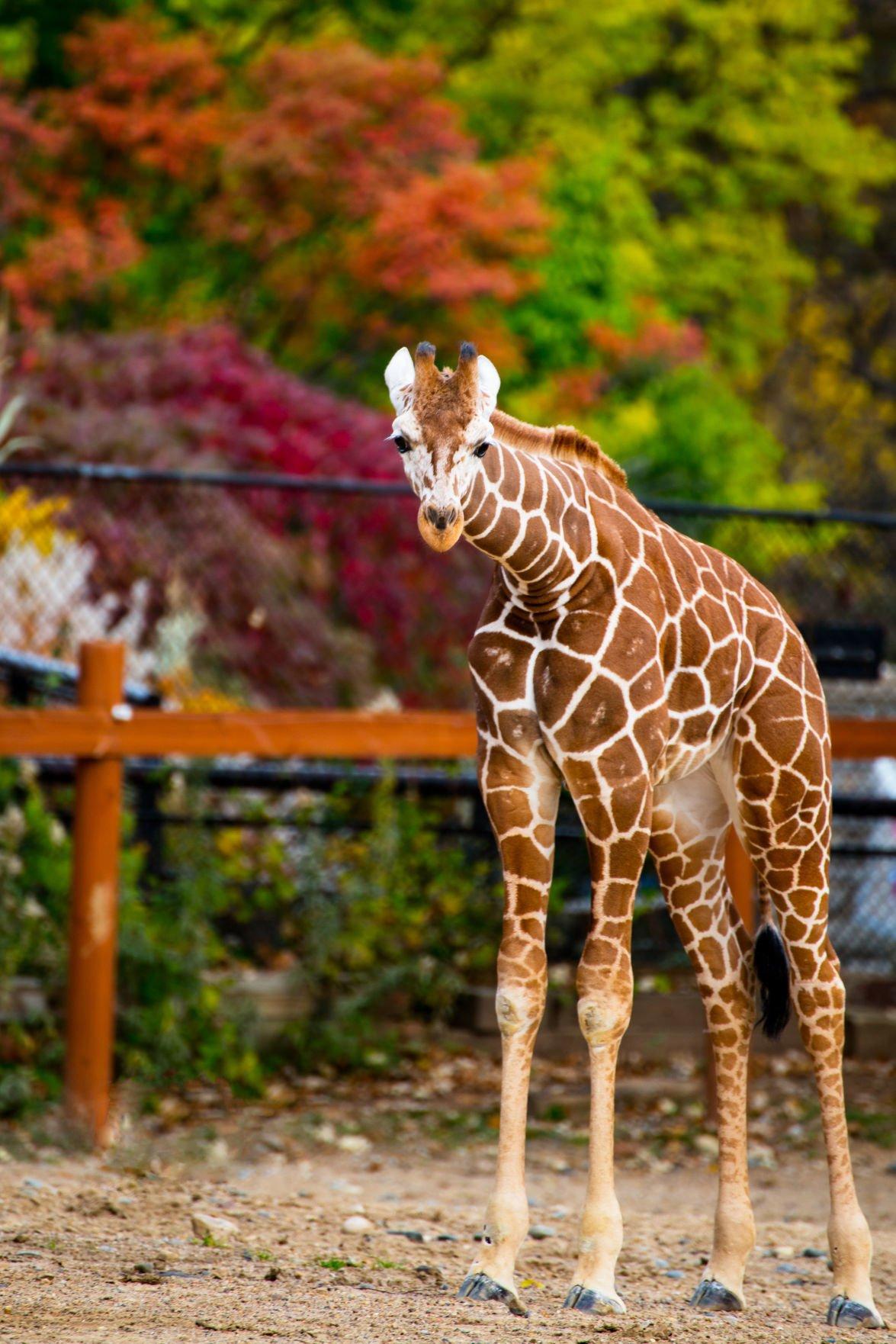 Lincoln Children's Zoo giraffe
