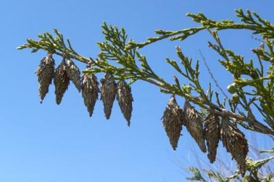 Sarah Browning: Be on the lookout for bagworms | Home and