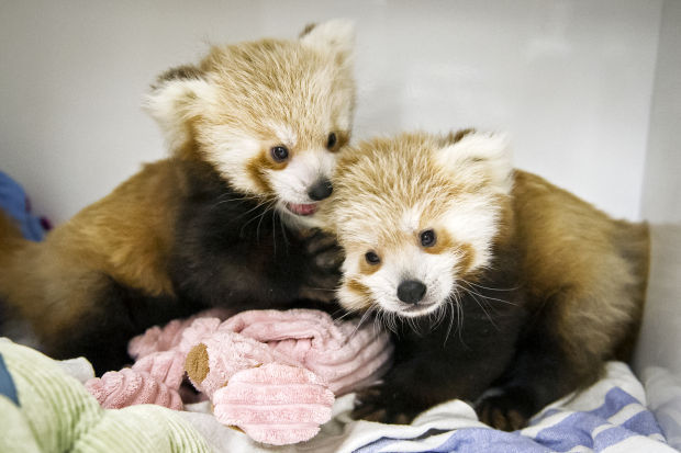 Red panda cubs being hand-raised at Lincoln Zoo   Local