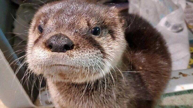 'Conservation success story' -- Game & Parks considers river otter season