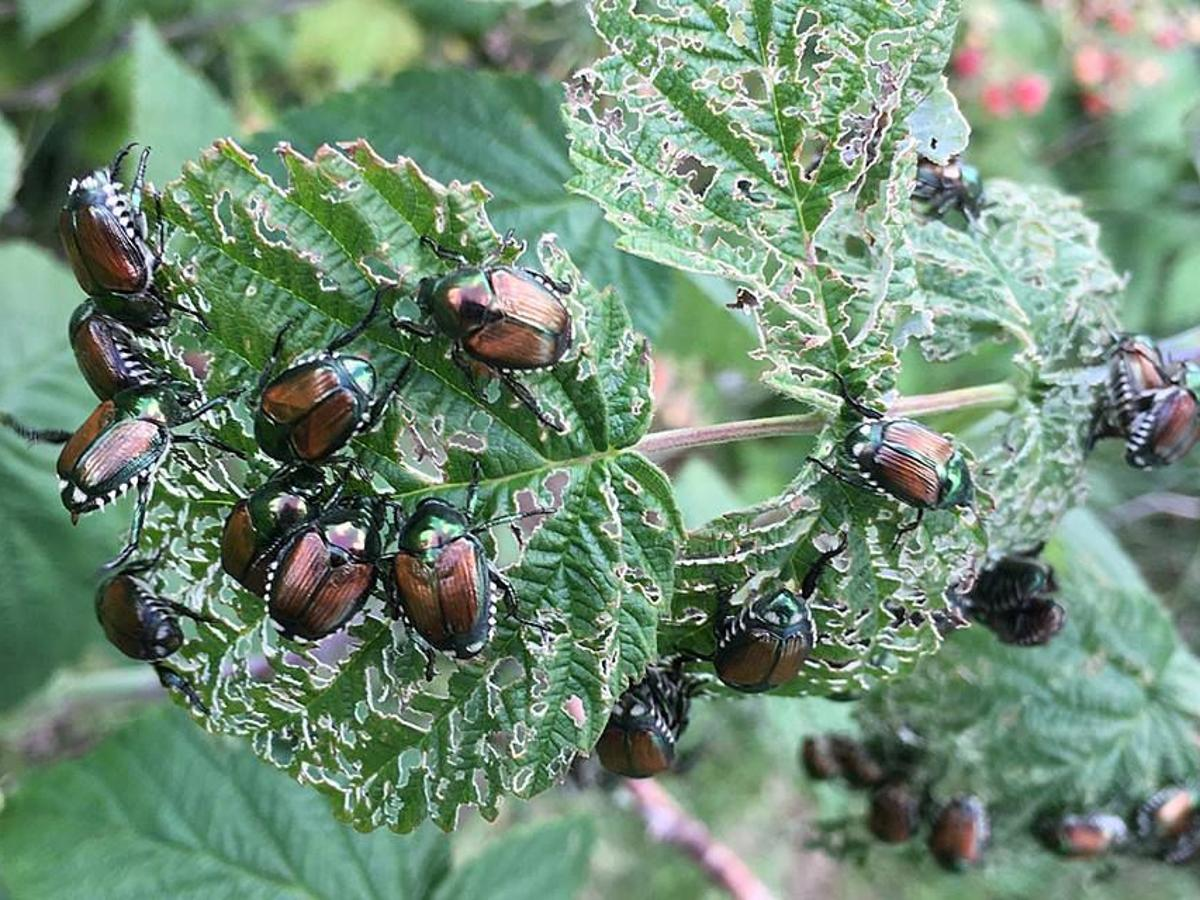 More Lightning Bugs This Year Japanese Beetles On The Prowl Home Garden Journalstar Com