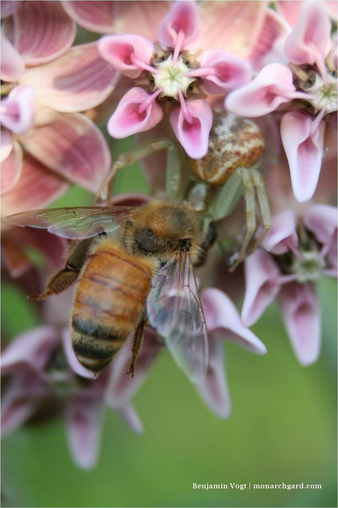 Honey Bee Caught by Spider on Milkweed