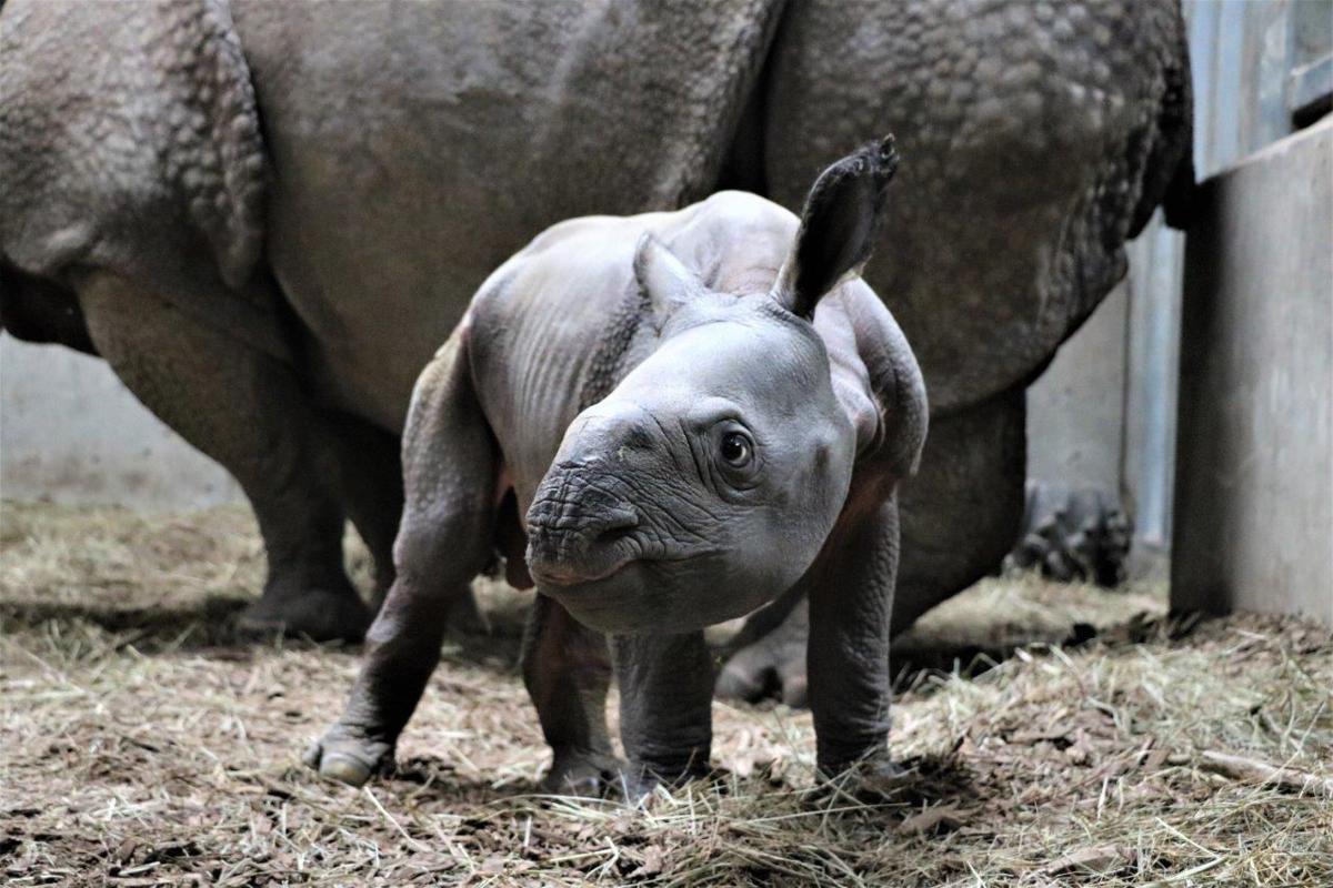 Indian rhino calf