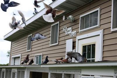 North Platte man trains homing pigeons for racing